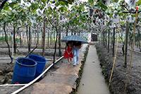 圣元伙伴在雨中体验摘葡萄的欢快